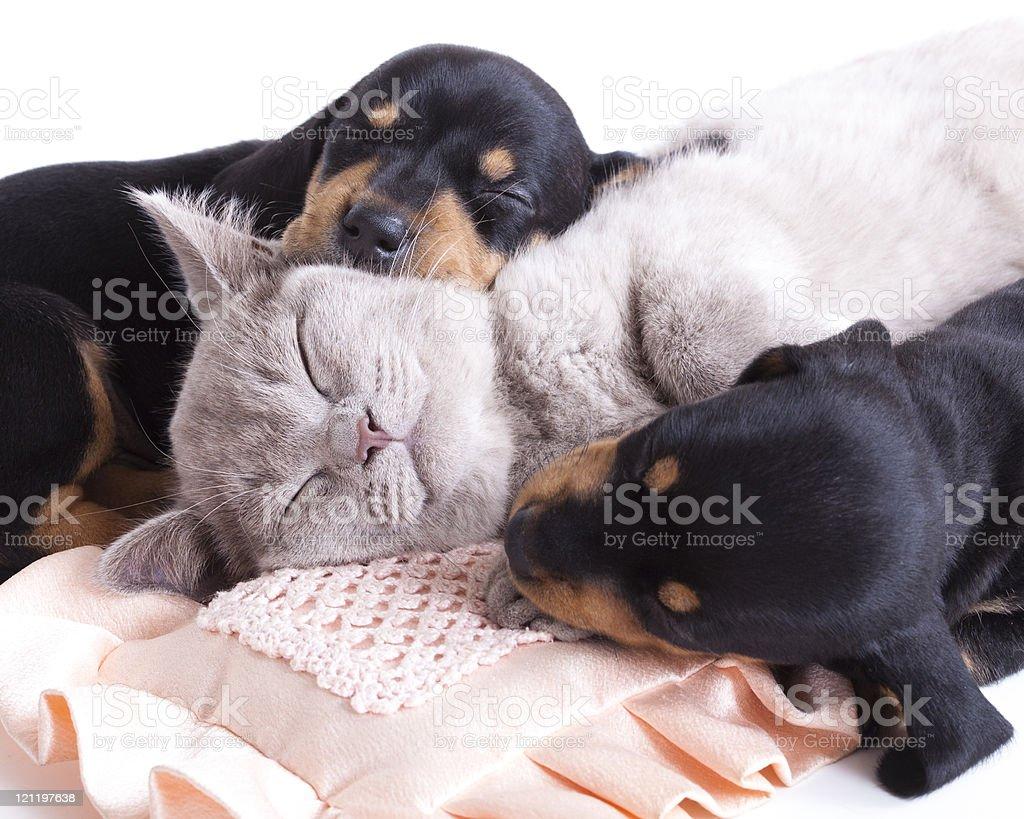 sleeping kitten and puppy royalty-free stock photo