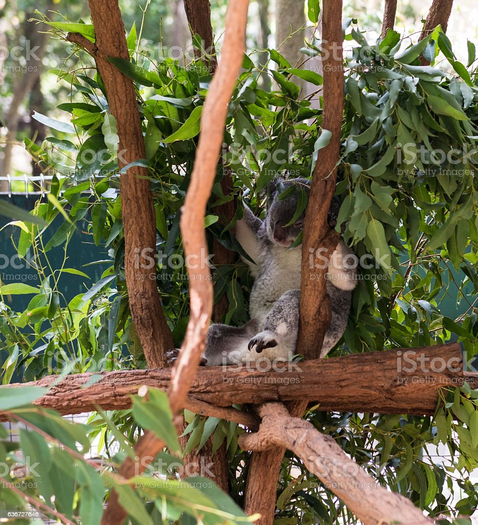 Sleeping koala bear in a tree stock photo