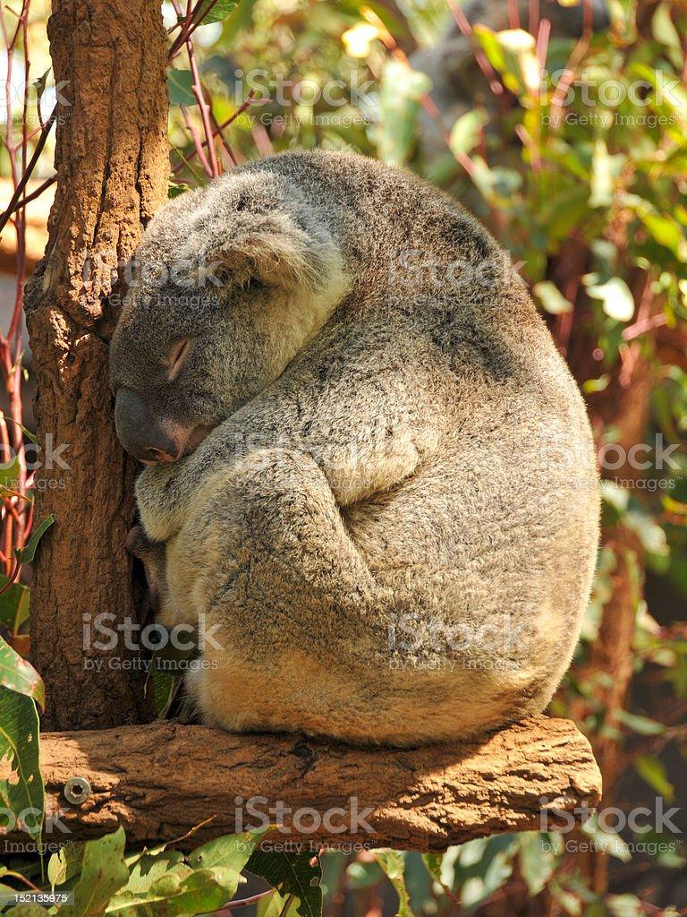 Sleeping koala on a branch stock photo