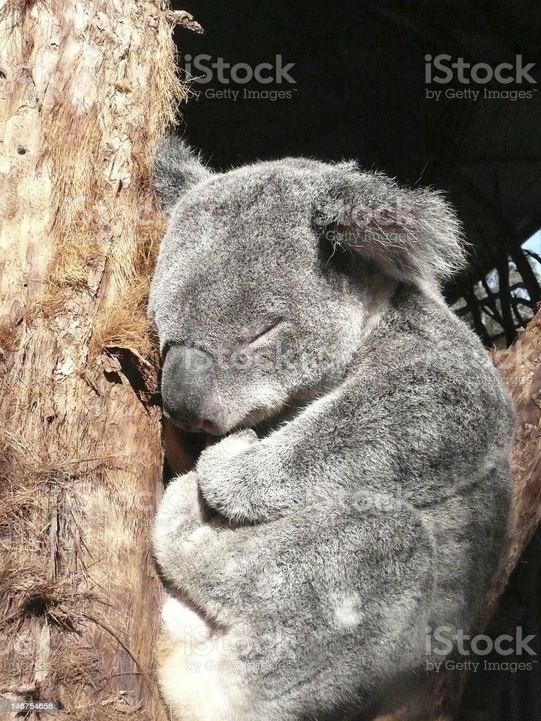 Sleeping Koala. royalty-free stock photo