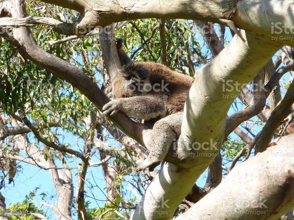 Sleeping Koala stock photo