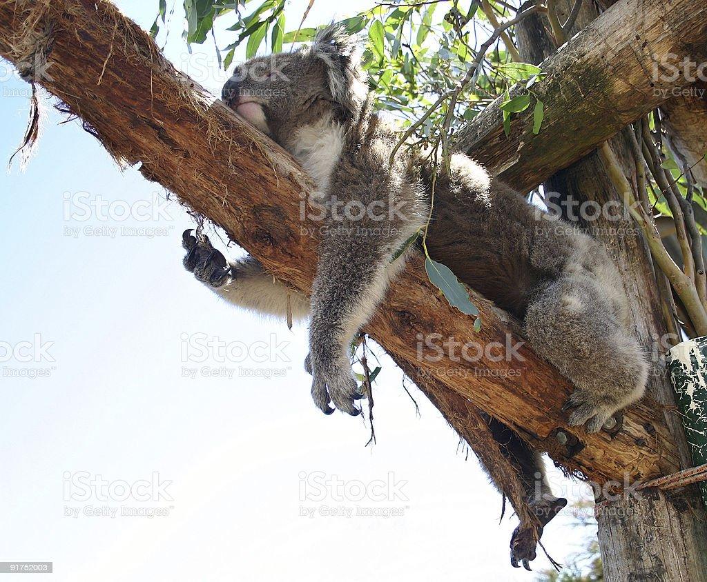 Sleeping koala royalty-free stock photo