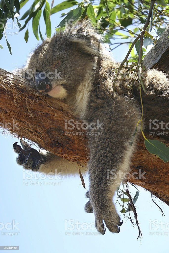 Sleeping koala royalty-free stock photo