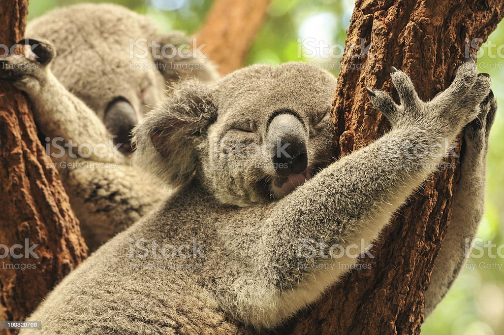 Sleeping koalas royalty-free stock photo