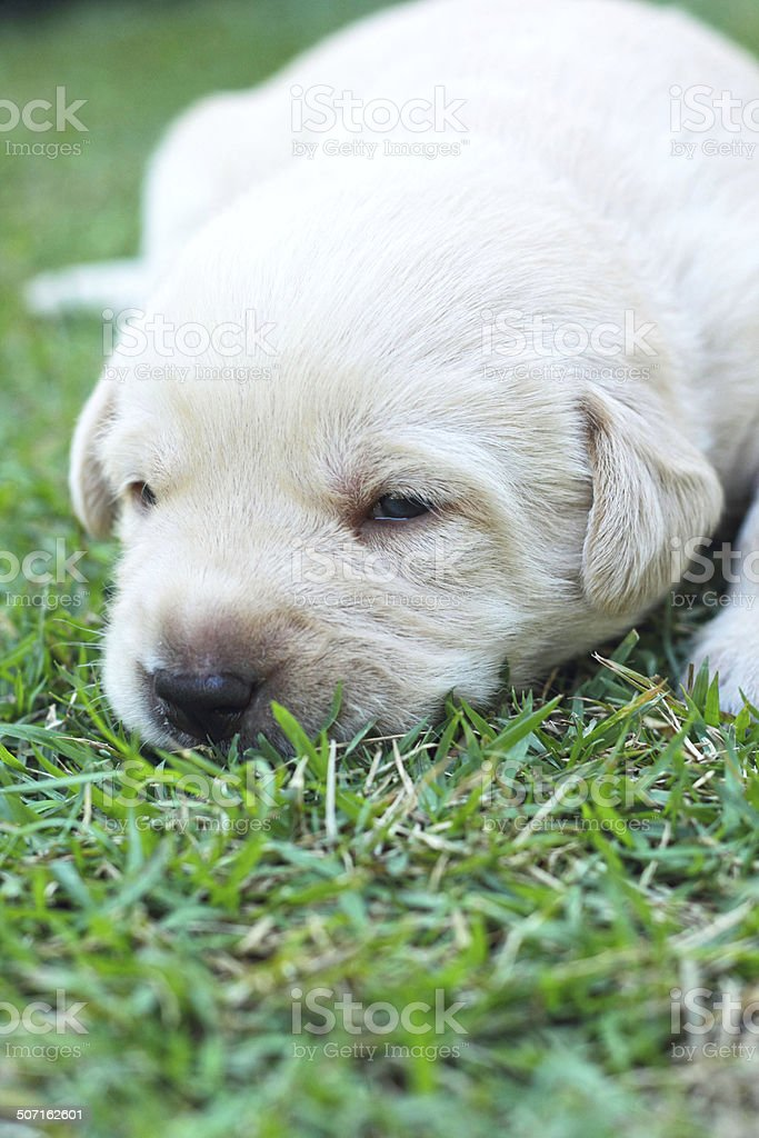 sleeping labrador puppies on green grass - three weeks old. royalty-free stock photo