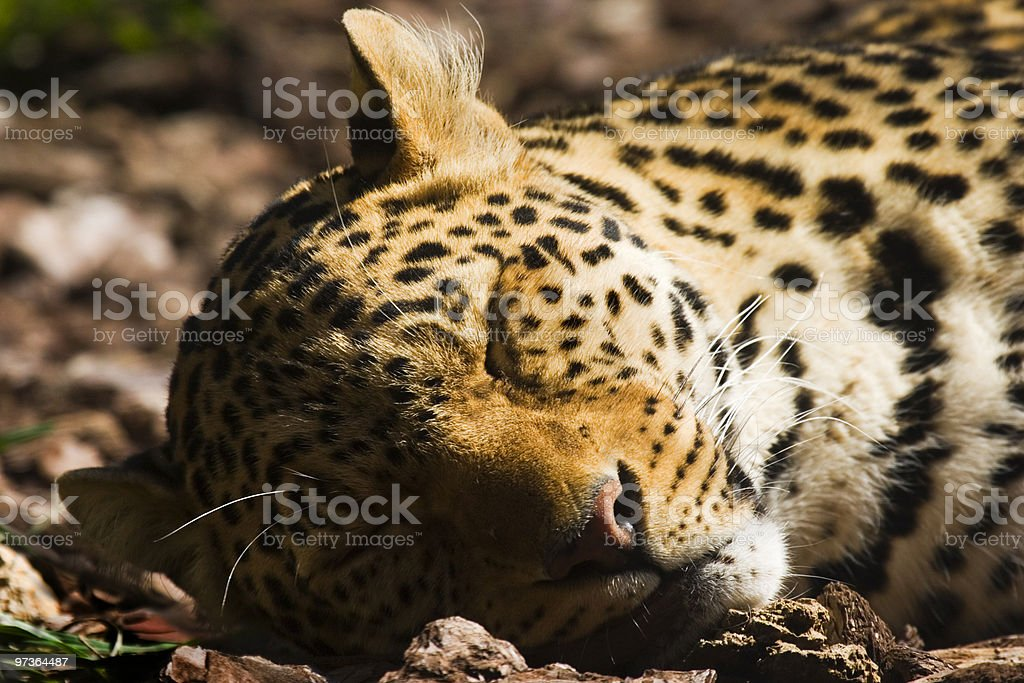 Sleeping leopard stock photo
