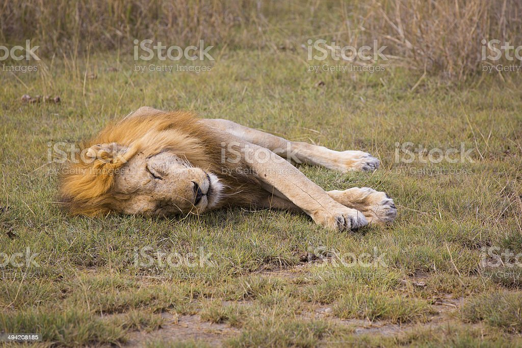 sleeping lion in serengeti stock photo