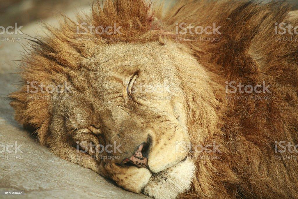Sleeping Lion royalty-free stock photo