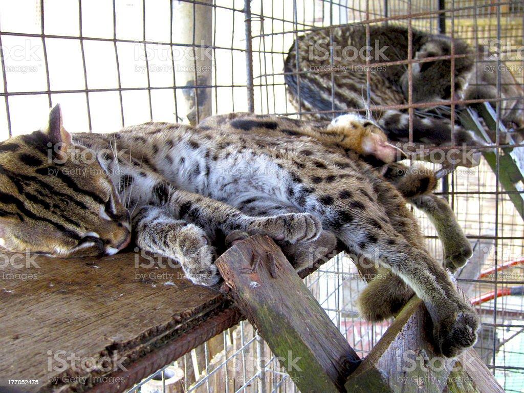 Sleeping Little Leopard in Bohol stock photo