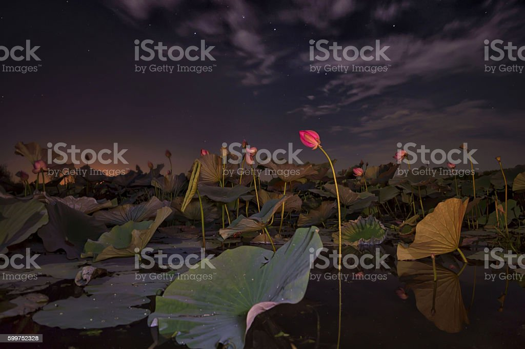 Sleeping lotus in the background of the Big dipper stock photo