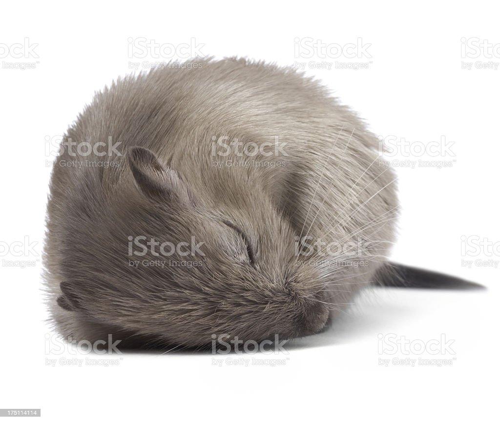 Sleeping mouse royalty-free stock photo