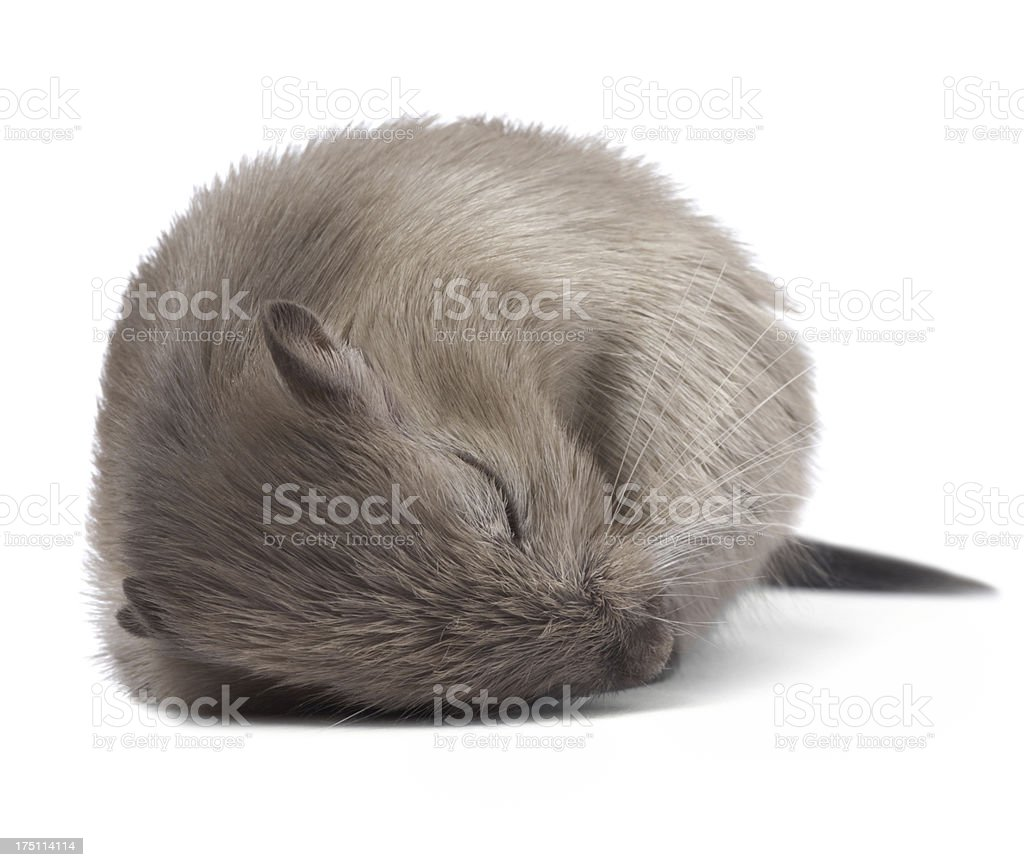 Sleeping mouse stock photo