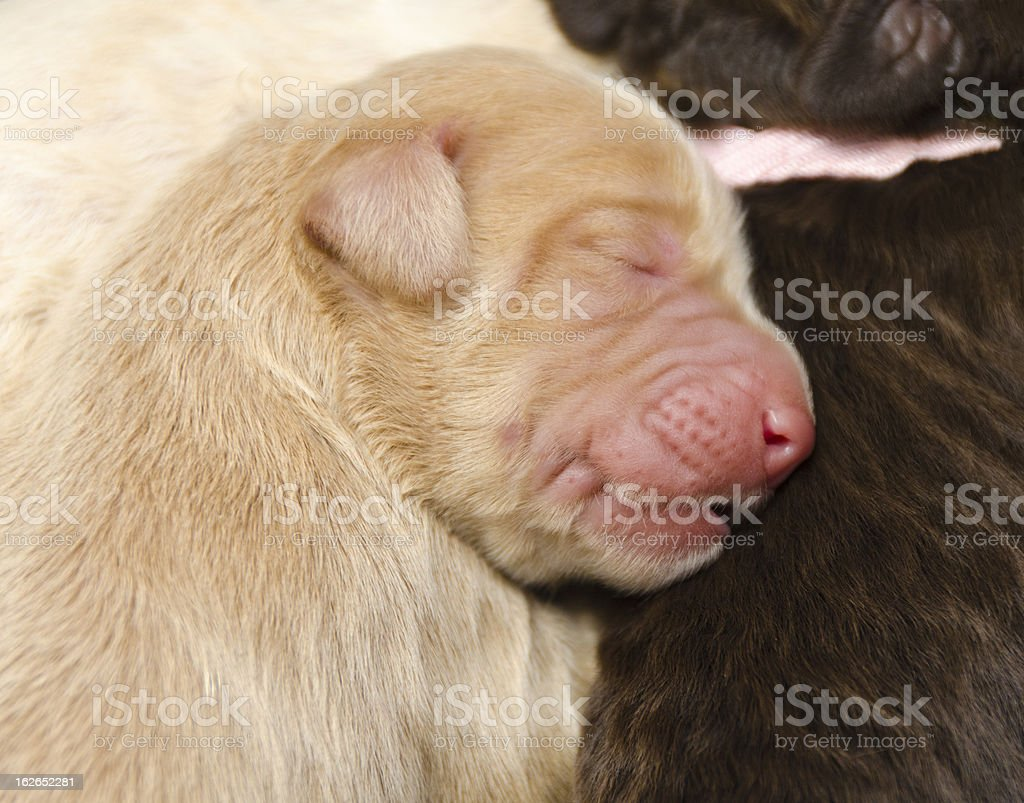 Sleeping Newborn Pup from Lab and Poodle Parents royalty-free stock photo
