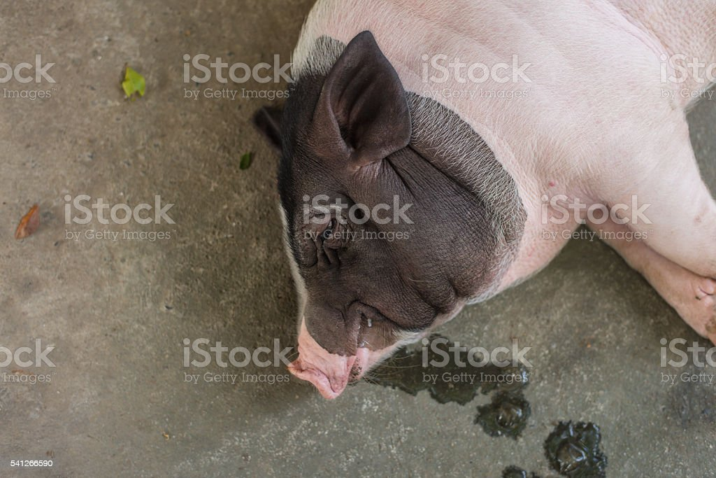 Sleeping pig on the floor. Selective Focus. stock photo
