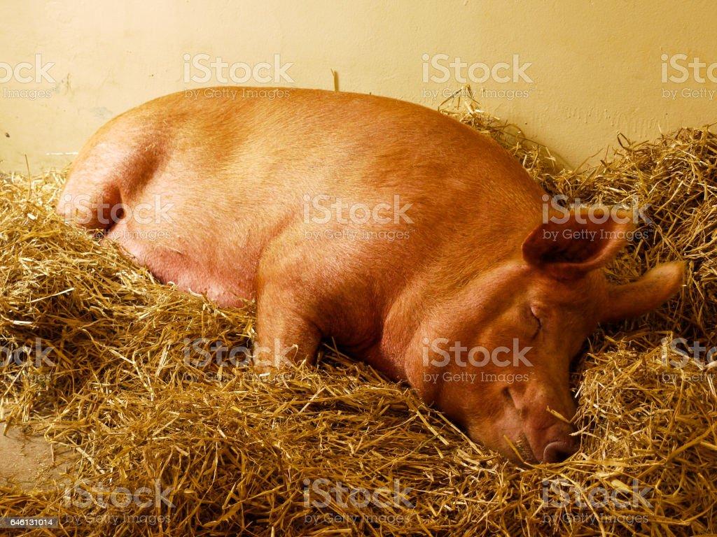Sleeping Pig stock photo