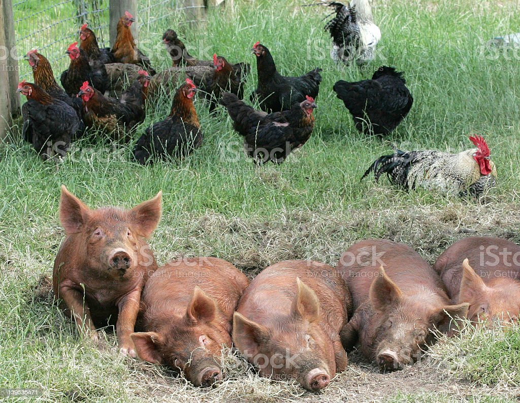Sleeping Pigs, Clucking Chickens stock photo