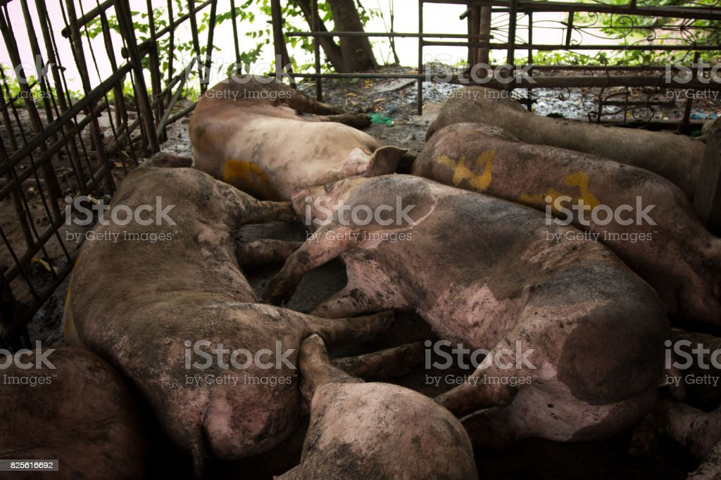 Sleeping pigs in a stable stock photo