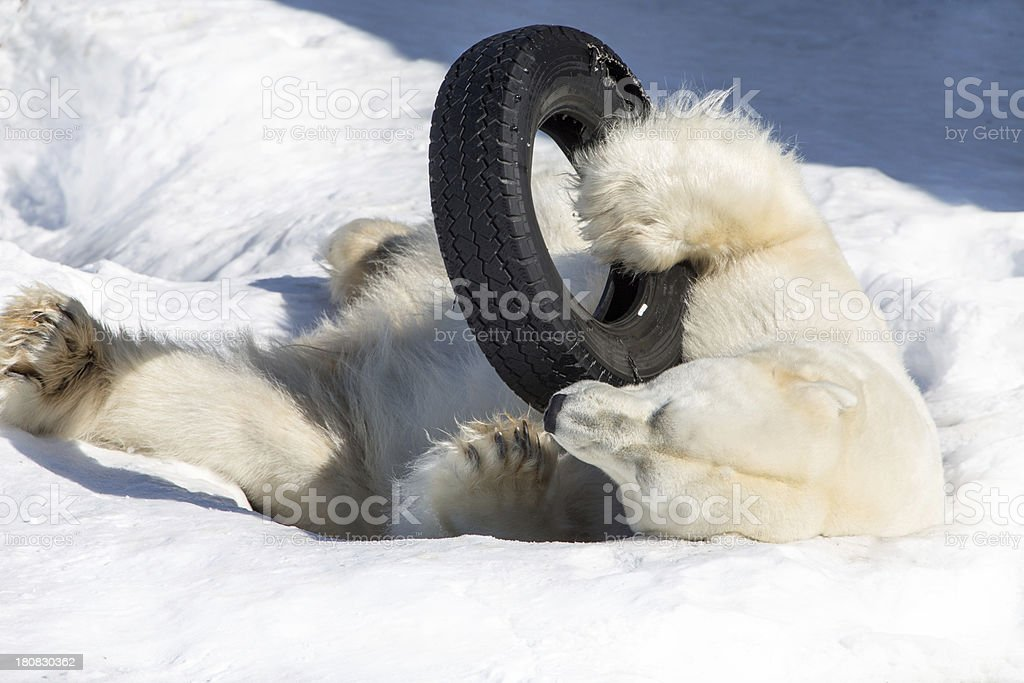 Sleeping polar bear with tyre. stock photo