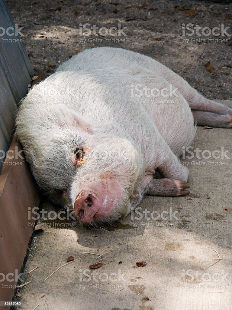 Sleeping Pot Belly Pig royalty-free stock photo