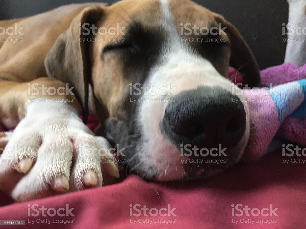 Sleeping pup stock photo