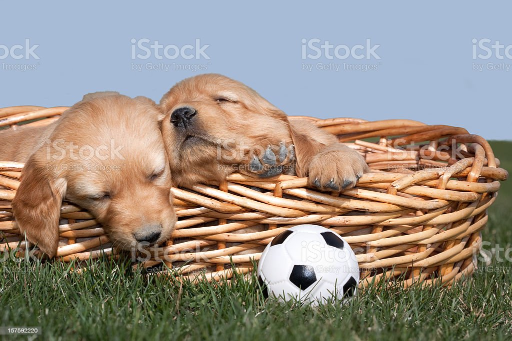 Sleeping Puppies and Toy Ball royalty-free stock photo