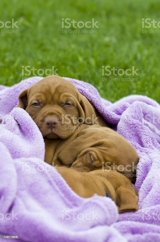 Sleeping puppies stock photo