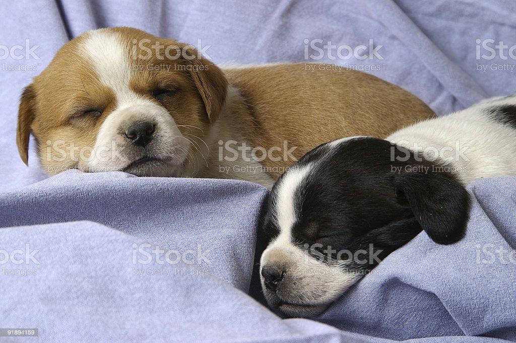 Sleeping Puppies royalty-free stock photo