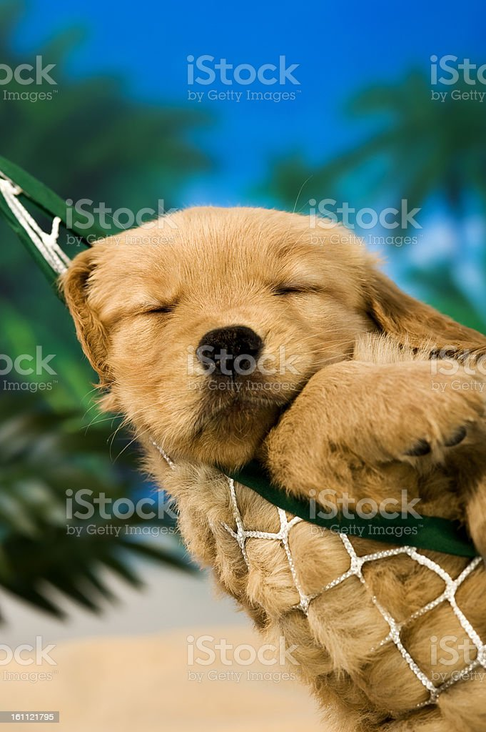 Sleeping puppy in a hammock at a beach stock photo