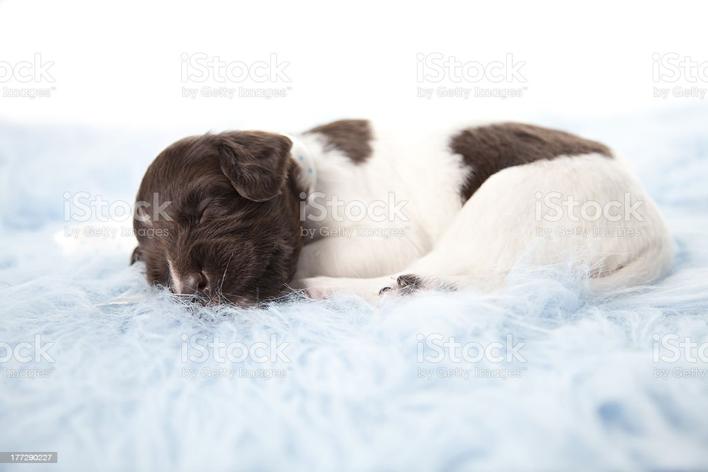 Sleeping Puppy stock photo