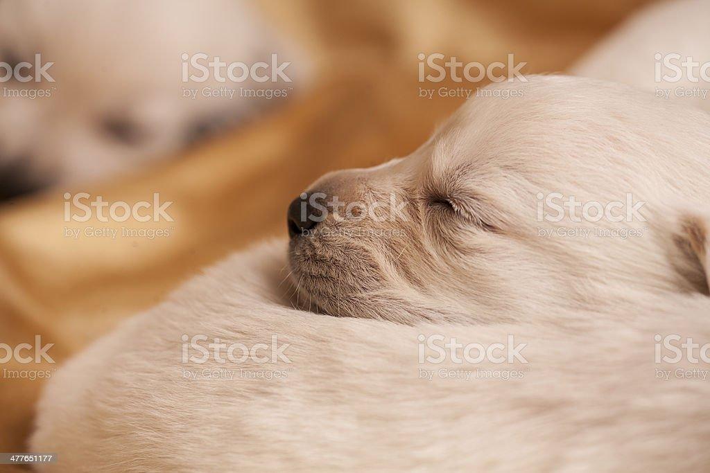 sleeping puppy royalty-free stock photo