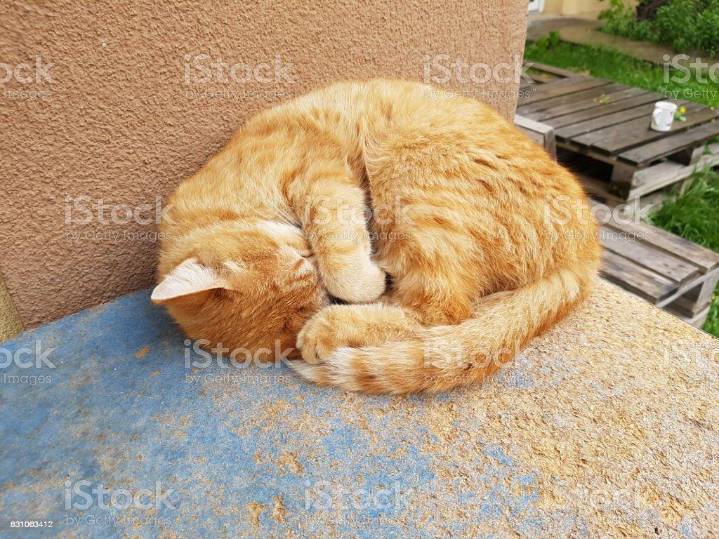 Sleeping red cat stock photo