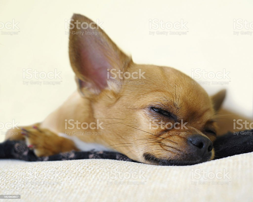 Sleeping red chihuahua dog on beige background. royalty-free stock photo