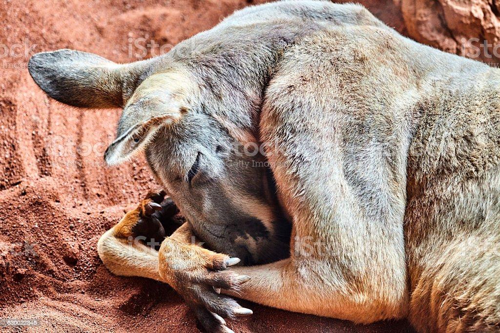 Sleeping Red Kangaroo stock photo