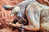Sleeping Red Kangaroo