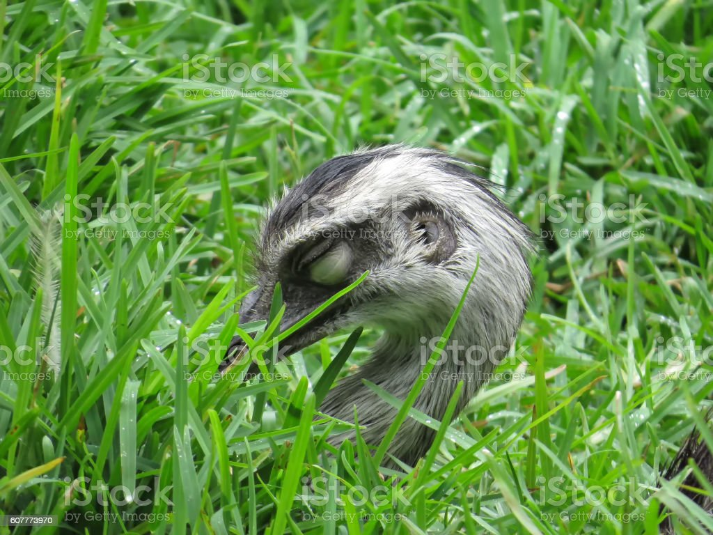 Sleeping Rhea in grass stock photo
