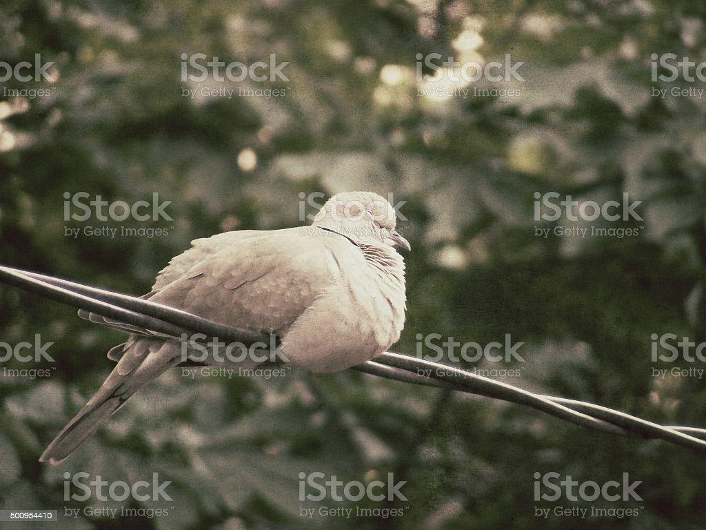 Sleeping Ring-Necked Dove (Streptopelia Capicola) - Vintage stock photo