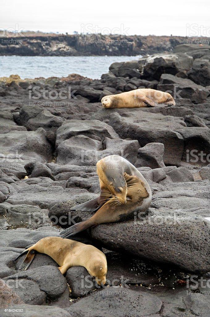 Sleeping sea lions, Galapagos Islands stock photo