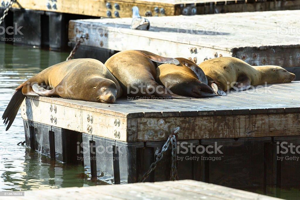 Sleeping Sea Lions stock photo