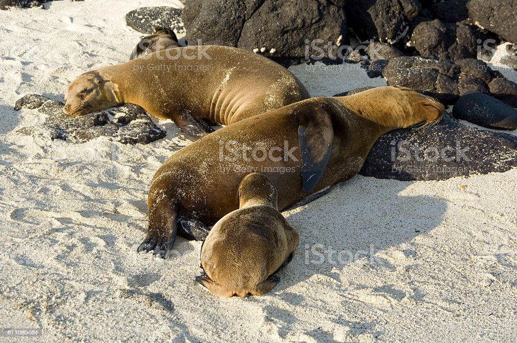 Sleeping sea lions with pup, Galapagos Islands stock photo