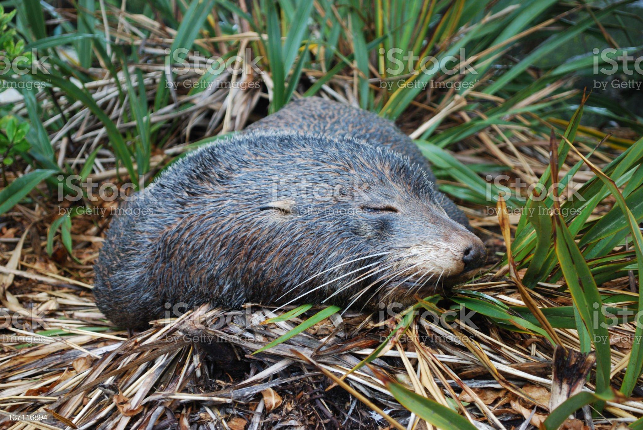 Sleeping Seal royalty-free stock photo