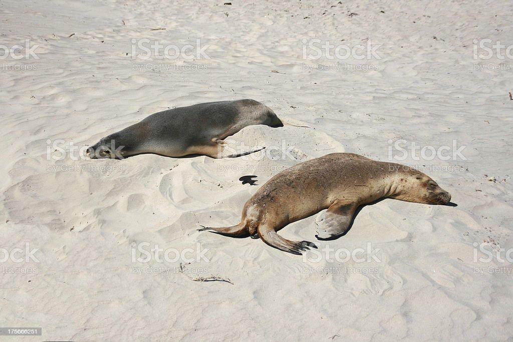 Sleeping Sea-lion, Seal bay, kangaroo island, australia royalty-free stock photo