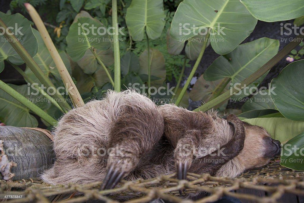 Sleeping Sloth on a mesh hammock with green plants behind royalty-free stock photo