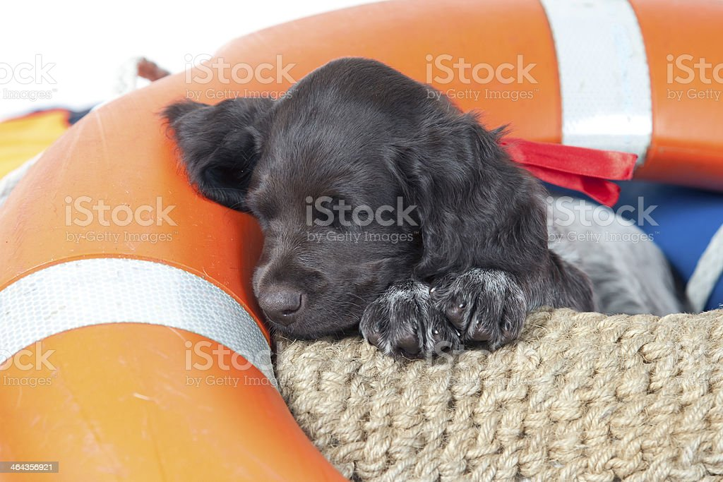 Sleeping Small Munsterlander puppy stock photo