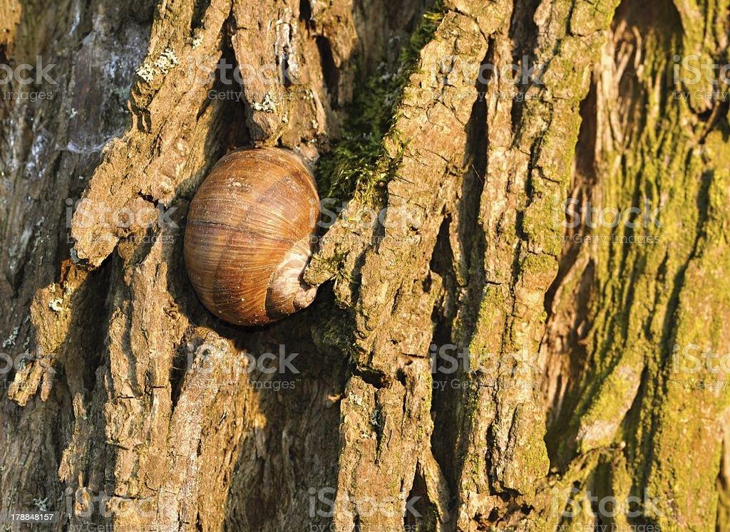 Sleeping snail on tree bark royalty-free stock photo