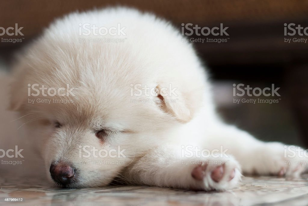 Sleeping spitz puppy stock photo