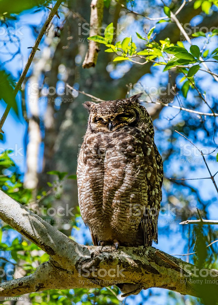 Sleeping Spotted Eagle Owl (Bubo africanus) in a tree stock photo