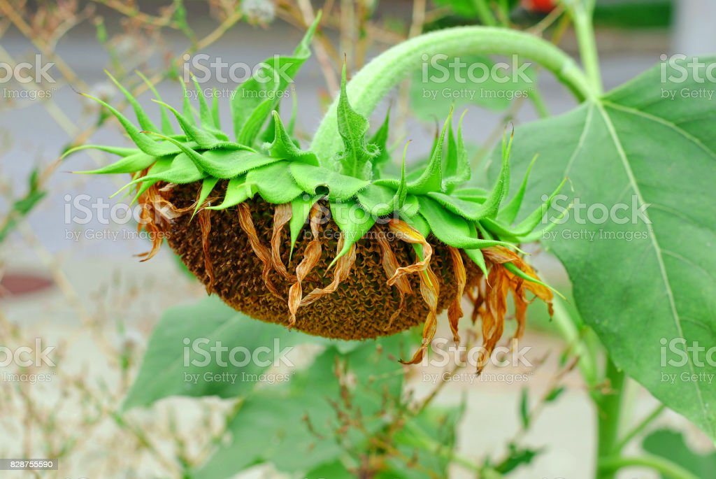 Sleeping Sunflower stock photo