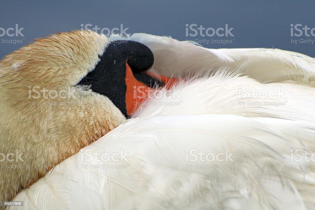 Sleeping Swan (2) royalty-free stock photo