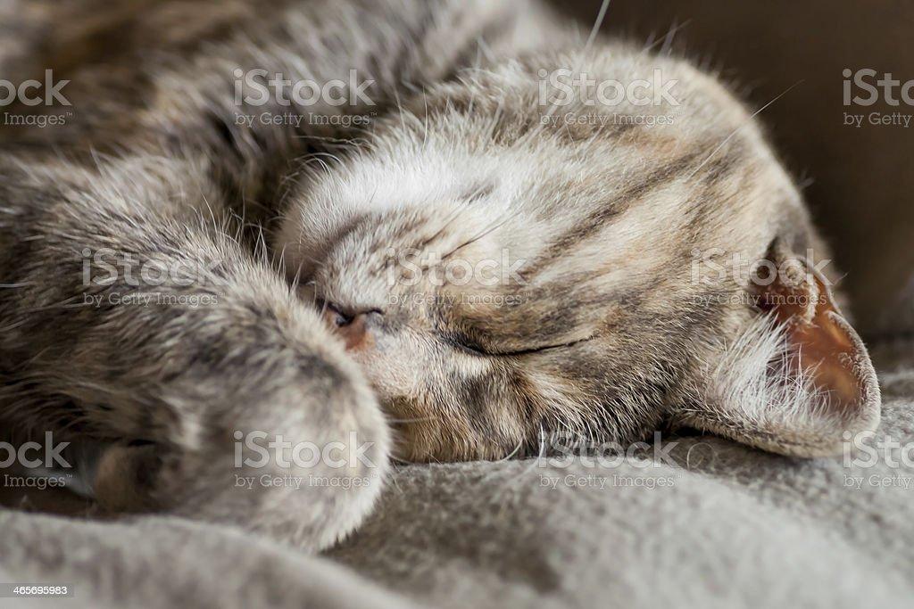 Sleeping Tortoiseshell-Tabby Cat royalty-free stock photo