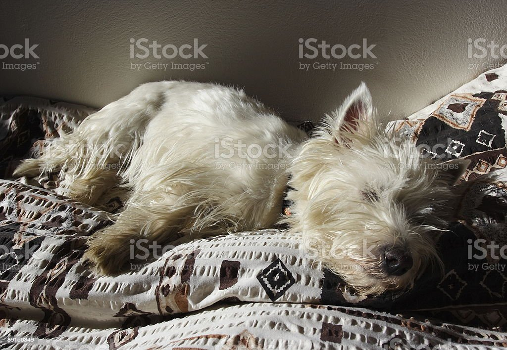 Sleeping westie royalty-free stock photo